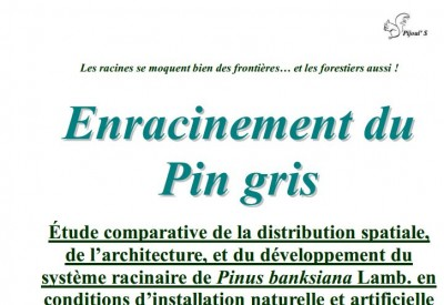 Enracinement du pin gris - Vignette 2