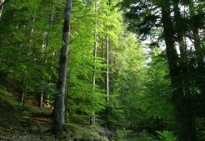 Les forêts slovènes - c108524 - Vignette