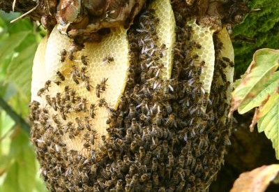 Ruches-tronc et miels d'abeilles noires - c205644